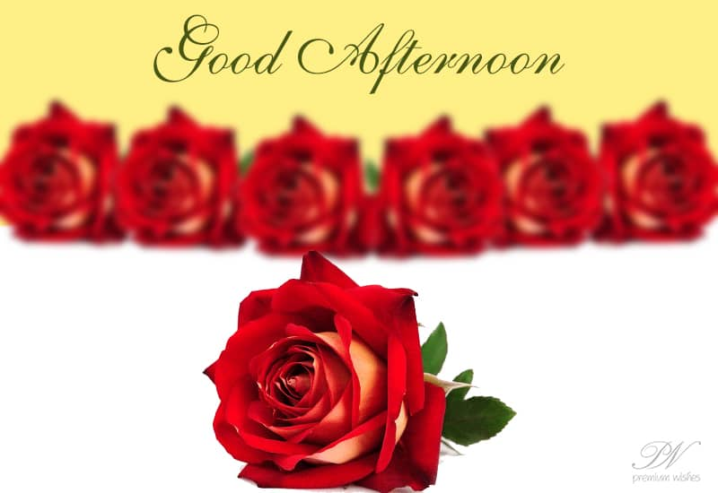 Good Afternoon Rose Flower Image - Flowers Healthy